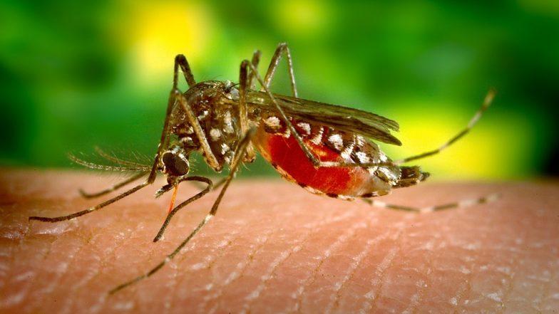 क्या आप जानतें है दुनिया के सबसे बड़े मच्छर का आकार कितना है?