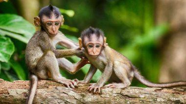 फतेहपुर में बंदरों ने पेड़ से गिराया सुतली बम, 3 ग्रामीण जख्मी