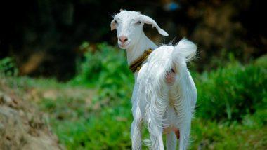 इंसानियत शर्मसार! नशे में धुत मजदूर ने प्रेग्नेंट बकरी का किया रेप, तड़प-तड़प कर तोड़ा दम