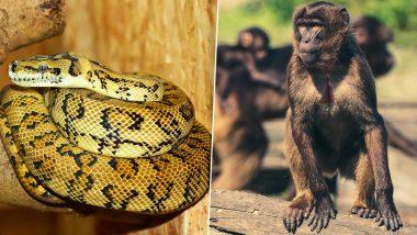 बंदर के बच्चे को अजगर ने बनाया अपना शिकार, तो बंदरों ने दी यह खौफनाक सजा...