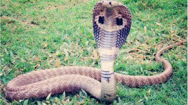 आशीर्वाद दिलाने के लिए 5 महीनें की बच्ची के गले में लपेटा कोबरा, डसने से हुई मौत