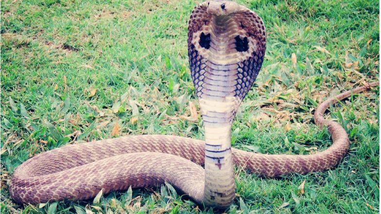 देहरादून: दुकान से निकले एक बाद एक 13 कोबरा सांप, लोगों के उड़े होश
