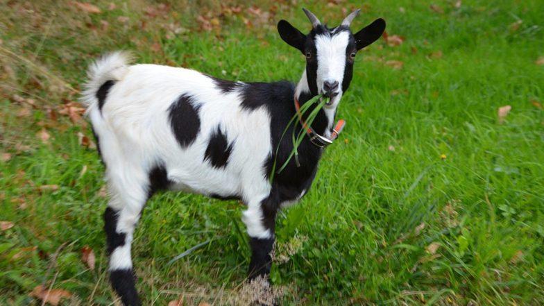 तेलंगाना में पुलिस ने 2 बकरियों को किया 'गिरफ्तार', ये है वजह