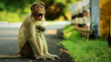 उत्तर प्रदेश: बंदरों के झुंड ने वृद्ध व्यक्ति पर किया पत्थरों से बौछार, उपचार के दौरान मौत