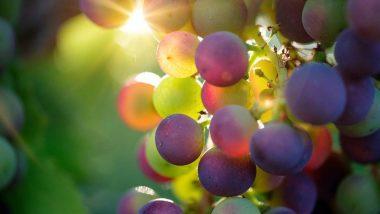 24 लाल जापानी अंगूरों का गुच्छा नीलामी में 7 लाख रूपये में बिका