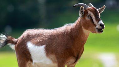 उत्तर प्रदेश में अजीबो- गरीब मामला, मास्क नहीं पहनने पर बकरी गिरफ्तार