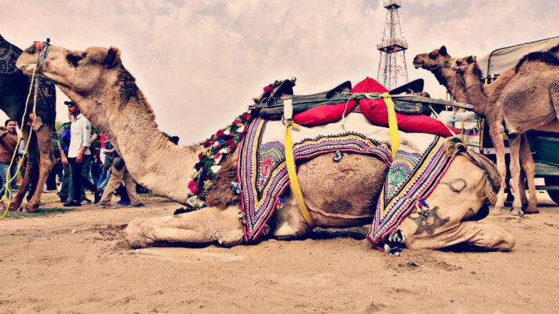 Camel Festival 2019: बीकानेर में 26वें अंतरराष्ट्रीय ऊंट उत्सव की हुई शुरुआत, जहां सांस्कृतिक कार्यक्रमों के साथ उठा सकते हैं ऊंट नृत्य का लुत्फ