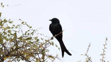 मध्य प्रदेश: बदला लेने के लिए 3 साल से इस शख्स के पीछे पड़ा है कौआ, वजह जानकर उड़ जाएंगे होश