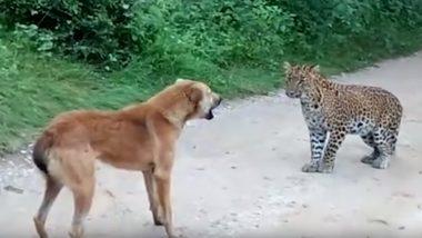 कुत्ते का शिकार करने आया था तेंदुआ, कुत्ते ने भेज दिया उल्टे पांव वापस, देखें वायरल Video
