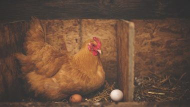 मध्यप्रदेश: शरारती मुर्गी के खिलाफ थाने में हुआ मामला दर्ज, मुर्गी पहुंची पुलिस स्टेशन, देखें वायरल Video