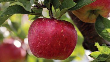 रोजाना खाएं एक Apple, डॉक्टर के पास जाने की नहीं आएगी नौबत, जानिए सेब के सेहतमंद फायदे