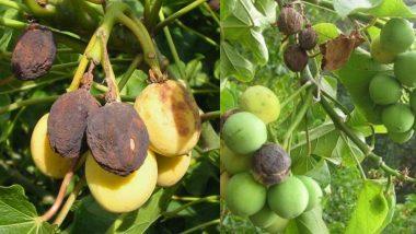 उत्तर प्रदेश: जहरीला फल खाने से नौ बच्चों की बिगड़ी हालत, इलाज जारी