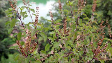 Tulsi Vivah 2019: प्रदूषण दूर करता है तुलसी का पौधा, जानें इसके आयुर्वेदिक और वैज्ञानिक महत्व