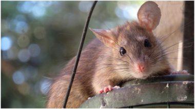 बिहार में चूहे ने की हाई प्रोफाइल 'चोरी', ज्वेलरी शॉप से हीरे के टॉप्स किए गायब, शराब गटकने के लिए भी रहे हैं बदनाम