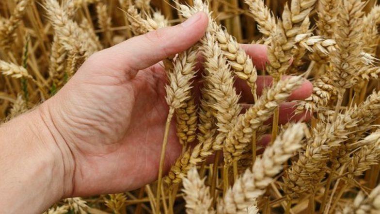 गेहूं का बढ़ा उत्पादन, वाजिब दाम नहीं मिलने से चिंता में पड़े किसान