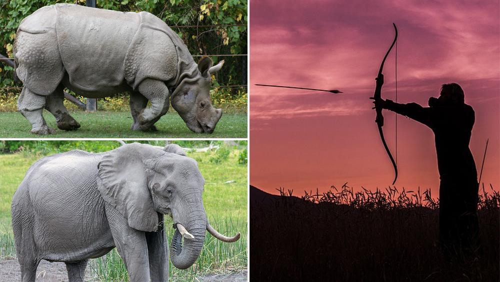 इसे कहते हैं जंगल का कानून, शिकारी गया था गेंडे का शिकार करने, लेकिन हाथी ने मारा और शेर उसे खा गए...