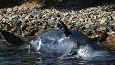 रामेश्वरम: अतरनकारई में मिला 35 वर्षीय व्हेल शार्क का शव, चट्टानों से टकराकर मरने की खबर