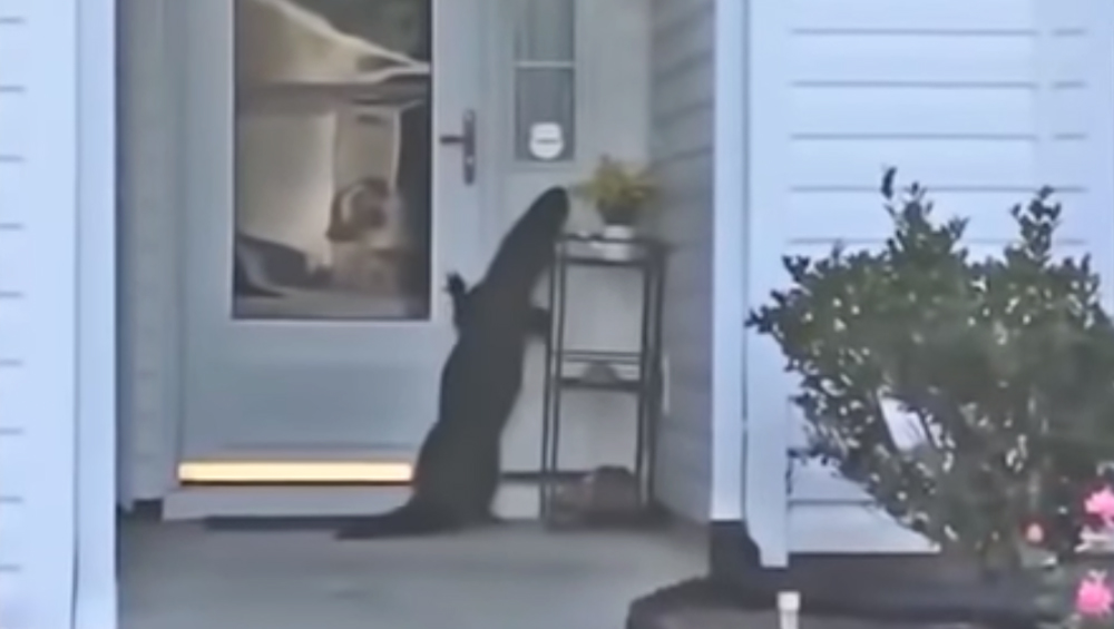 घर की डोर बेल बजाने के लिए अपने पैरों पर खड़ा हुआ मगरमच्छ, वीडियो देख हो जाएंगे हैरान