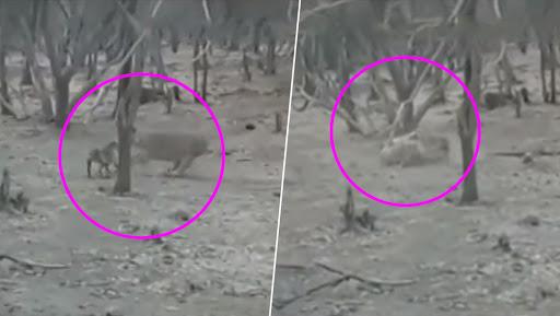 गुजरात: गिर के जंगल में कुत्ते का शिकार करना चाहता था शेर, फिर लड़कर ऐसे बचाई जान, देखें वीडियो