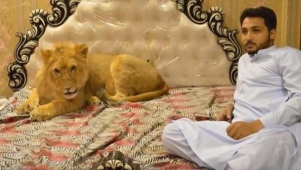 शेर के साथ एक ही बिस्तर पर सोता है ये शख्स, दो साल का बेटा भी है लायन का बेस्ट फ्रेंड
