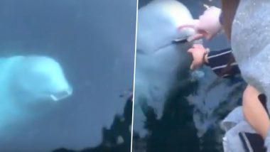नॉर्वे: व्हेल ने समुद्र में गिरा महिला का फोन लौटाया, मछली पर लगाए गए थे रूसी जासूस होने के आरोप, देखें वायरल वीडियो