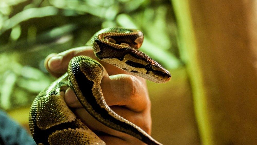 छत्तीसगढ़: लाइव शो के दौरान कोबरा सांप के काटने से हुई शख्स की मौत, सपेरे को पुलिस ने किया गिरफ्तार