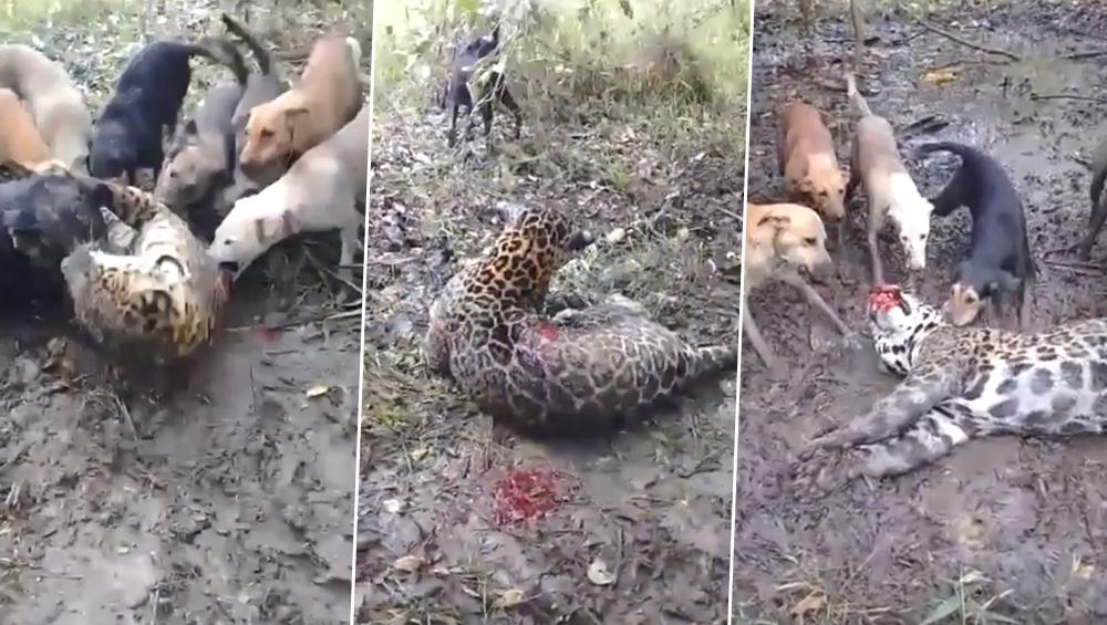 खूंखार चीते और कुत्तों के बीच जब हुई भयंकर लड़ाई, उसके बाद जो हुआ...देखें VIDEO
