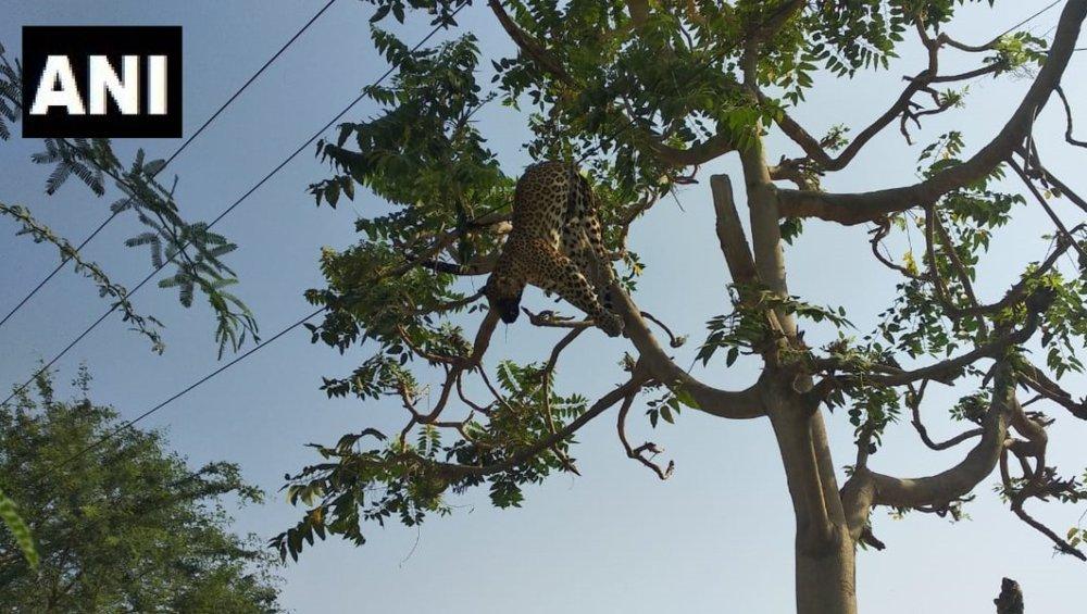 हरियाणा: गुरुग्राम में करंट लगने से तेंदुए की मौत, बिजली के तार से चिपकने की वजह से हुआ हादसा