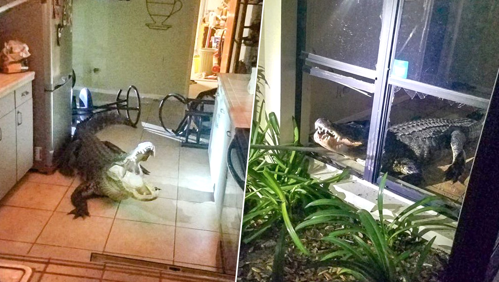 Florida: किचन में घुस आया 11 फुट का मगरमच्छ, खिड़की और घर का सामान तोड़ा, देखें वायरल वीडियो