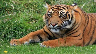 मध्यप्रदेश : सिवनी में बाघ की बढ़ी गतिविधियों ने ग्रामीणों की जिंदगी पर डाला असर, खेत में जाने से डरने लगे हैं किसान