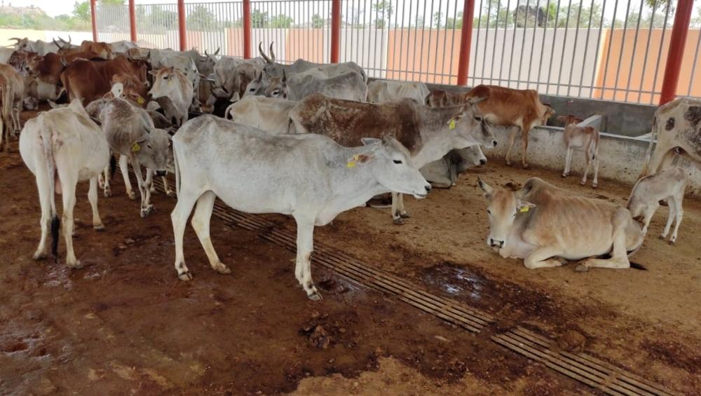 पंजाब के बठिंडा में गौशाला की छत गिरी, मलबे में दबीं करीब 80 गाय, रेस्क्यू ऑपरेशन के लिए NDRF रवाना