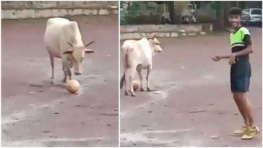 ये गाय लड़कों के साथ खेलती है फुटबॉल, मजेदार वीडियो सोशल मीडिया पर तेजी से हो रहा है वायरल, आप भी देखें