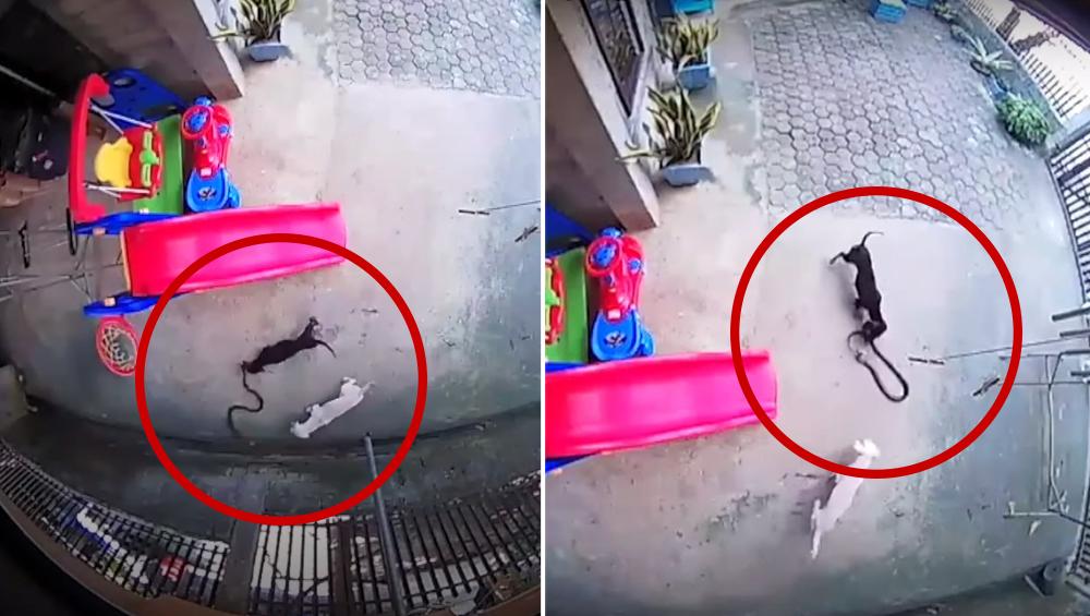 बच्ची को कोबरा से बचाने के लिए 2 कुत्तों ने लगा दी जान की बाजी, घर में घुसने से सांप को ऐसे रोका, देखें दिल को छू देनेवाला वीडियो