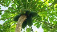 Papaya Farming: इस तरह से करें पपीते की खेती, होगी तगड़ी कमाई- जानें महत्वपूर्ण टिप्स