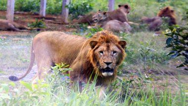 उत्तर प्रदेश: इटावा लॉयन सफारी को गुजरात सरकार ने दिए 7 शेर, 11 जून को पहुंचेंगे पार्क
