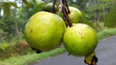 अच्छी सेहत के लिए शानदार फल है अमरूद, इसे खाने से होते हैं ये कमाल के फायदे