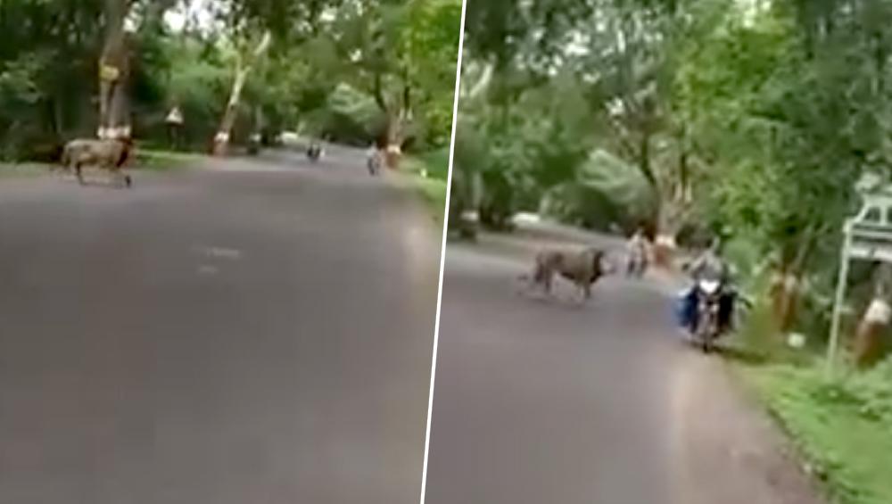 गुजरात: आते-जाते लोगों के बीच सड़क पार करता दिखा शेर, देखें गिर के जंगल के राजा का यह हैरान करने वाला वीडियो