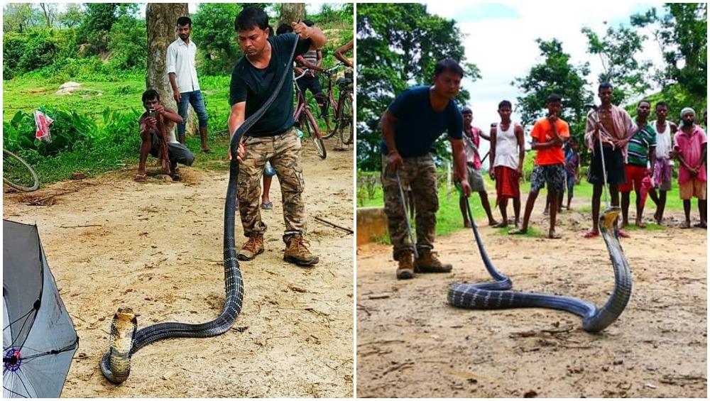 असम में मिला 14 फीट लंबा किंग कोबरा, देखें हैरान कर देने वाली तस्वीरें