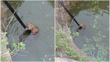 महाराष्ट्रः पुणे के शिरुर में कुएं में गिरे तेंदुए की बचाई गई जान, देखें Video