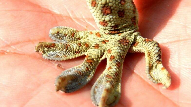 Tokay Gecko दुर्लभ प्रजाति की छिपकली को वाइल्ड लाइफ एक्टिविट ने शिकारियों से बचाया, बनती है एचआईवी और सेक्स पावर बढ़ाने की दवाई