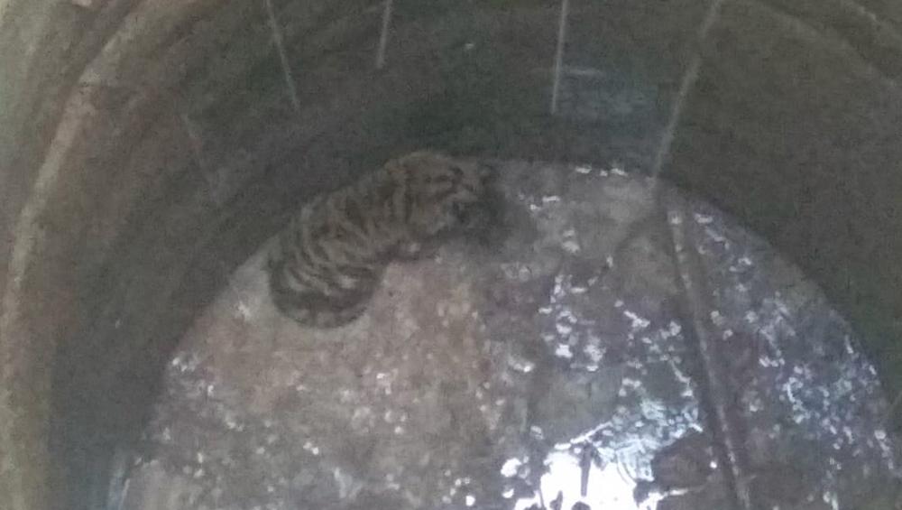 मध्यप्रदेश: सूखे कुएं में गिरा बाघ का बच्चा, मां दो दिन से कर रही है कुएं की निगरानी, वन विभाग टीम बचाने में जुटी