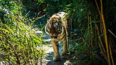 उत्तर प्रदेश: बाघ के हमलों को रोकने के लिए पीलीभीत टाइगर रिजर्व सीमा पर लगाएंगे सुगंधित पौधे