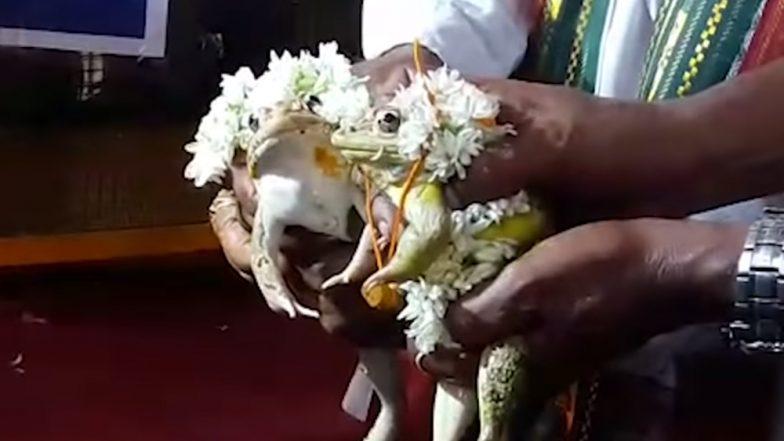 मध्यप्रदेश: बारिश होने के लिए पहले कराई मेंढक-मेंढकी की शादी, बाढ़ से बचने के लिए अब कराया तलाक