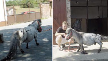 पोलैंड: विश्व का सबसे छोटा मेल घोड़ा बॉम्बेल, इसकी ऊंचाई है सिर्फ 1 फुट 10 इंच, देखें वीडियो