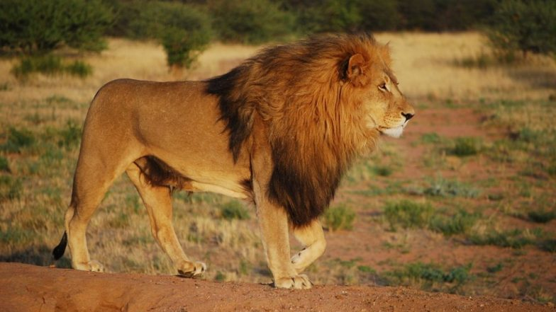 गुजरात: गिरनार के पास शहर की सड़क पर घूमते दिखे 7 शेर, वीडियो देख आप भी रह जाएंगे दंग