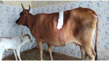 चेन्नई: गाय के पेट से ऑपरेशन कर निकाला गया 52 किलो प्लास्टिक कचरा, देखकर डॉक्टर भी रह गए दंग