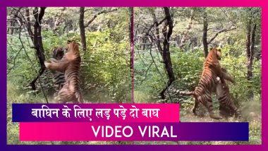 Tigers Fight Over A Tigress: बाघिन के लिए लड़ पड़े दो बाघ, Video Viral