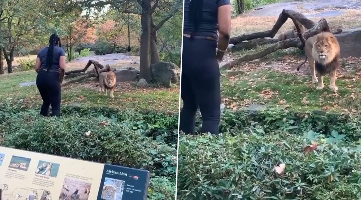 VIDEO: खूंखार शेर के पास दीवार फांदकर पहुंची महिला, करने लगी डांस- फिर उसके बाद जो हुआ...