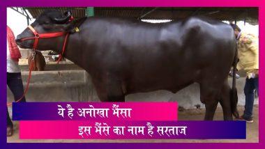 Viral: ये है 1600 किलो वजन का भैंसा, हर रोज 10 किलो दूध और 2 दर्जन केले खाता है