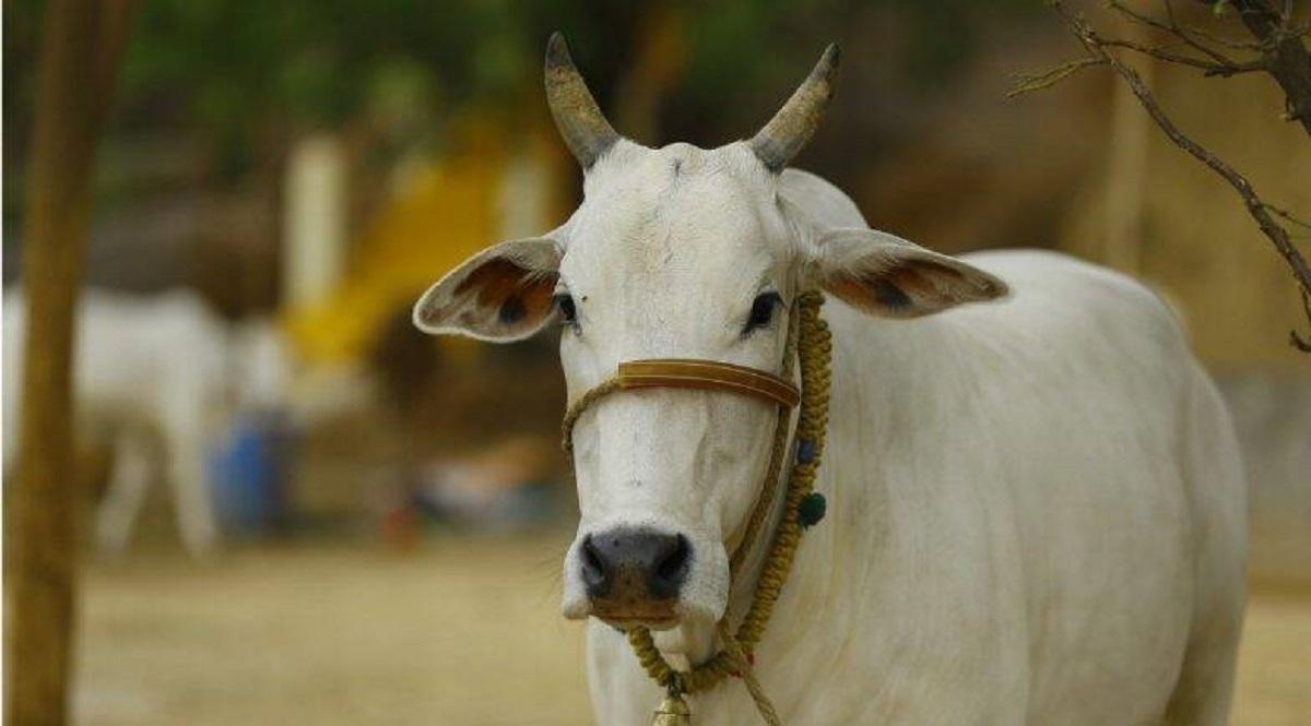 Gopashtami 2019: क्यों मानते हैं गाय को माता! जानें गोपाष्टमी की परंपरा, पूजा विधि, कथा एवं मुहूर्त!